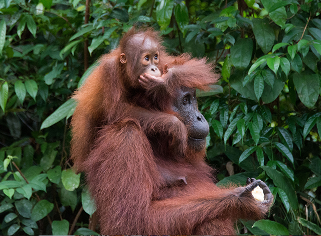 Send A Love To Orangutans Without Touching Them!